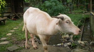 An albino water buffalo